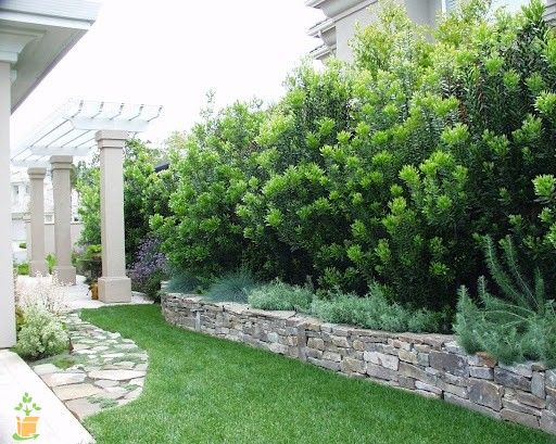 wax myrtle privacy landscaping