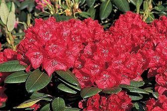 Rododendrón Busuki, v črepníku, 40/60 cm Rhododendron Busuki