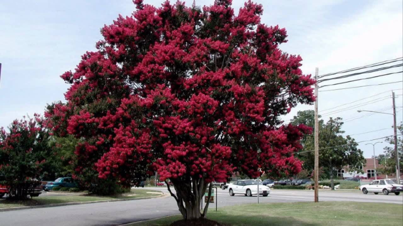 Black Diamond Crepe Myrtle Beautiful In Best Red Variety With Gorgeous Red Flowers Myrtle Tree Crape Myrtle Crepe Myrtle Landscaping