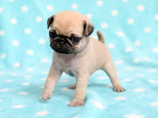 Pug Puppies Pug Puppy Black Pug Puppy Fawn Pug Puppy Website