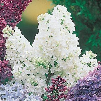 White French Hybrid Lilac Bulb Flowers Lilac Plant Plants