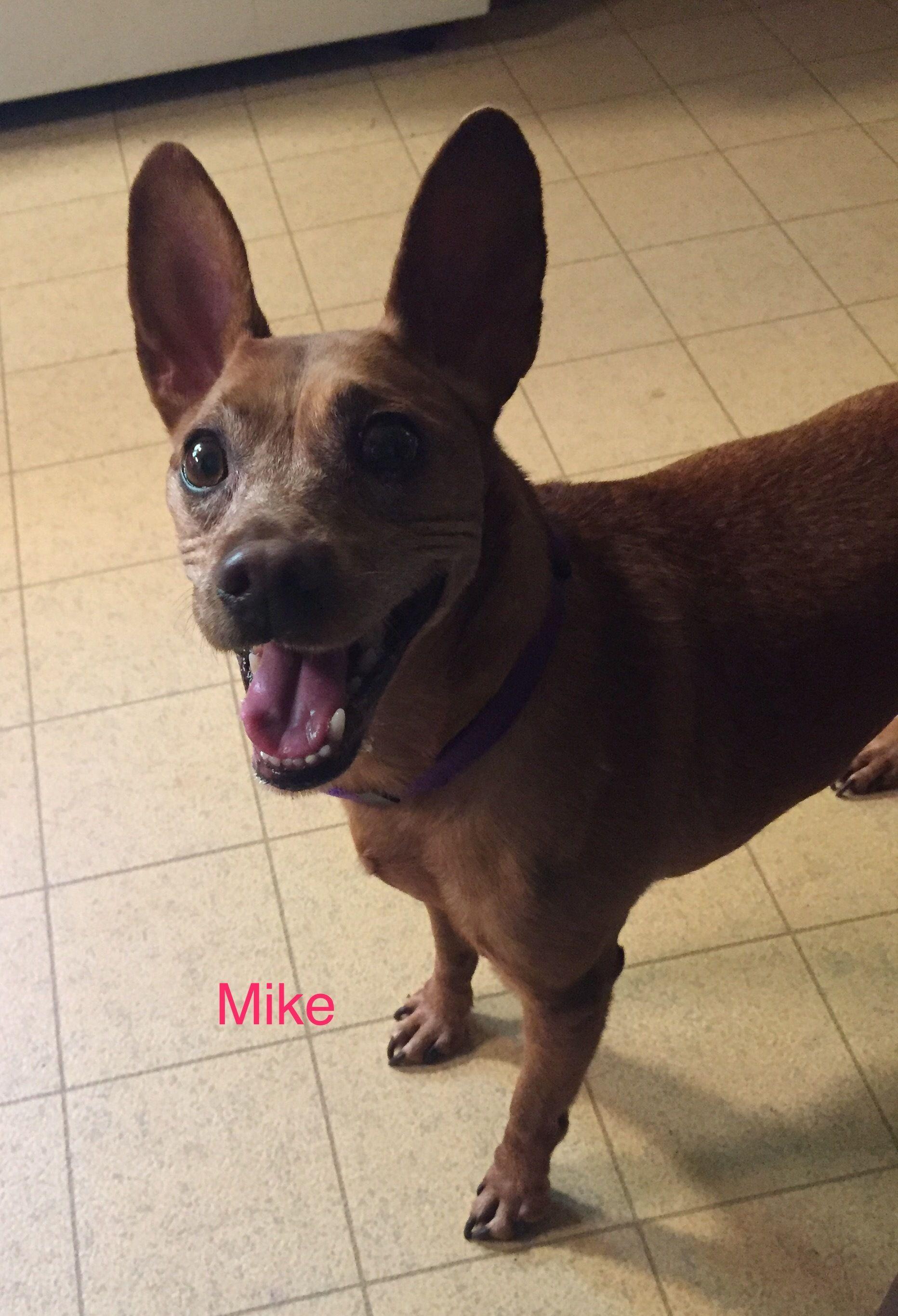 Adopt Mike On Adoption Pooch Miniature Pinscher Mix