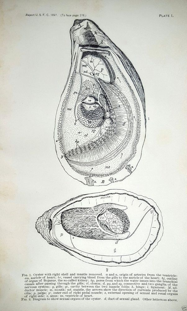 Oyster Anatomy Sexual Organs Print 1897 Antique Print Lithograph Historic Image #Realism