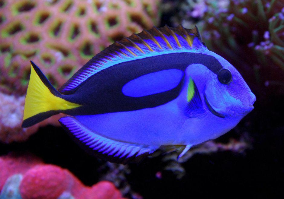 Yellow Belly Regal Blue Tang Paracanthurus Hepatus Var Photos Beautiful Fish Fish Marine Fish