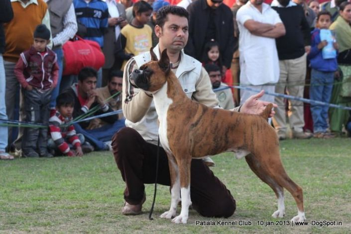 Boxer Stacking In Patiala Dog Show 2013 Dog Show Dogs Dog Images