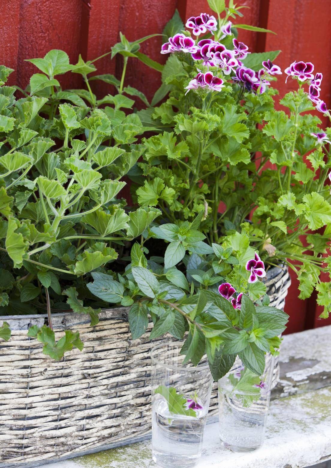 Hyötykasvien parvekeviljely onnistuu erilaisissa ruukuissa. Lue Viherpihan vinkit ja kasvata parvekkeella vaikka mansikoita, perunoita ja porkkanaa!