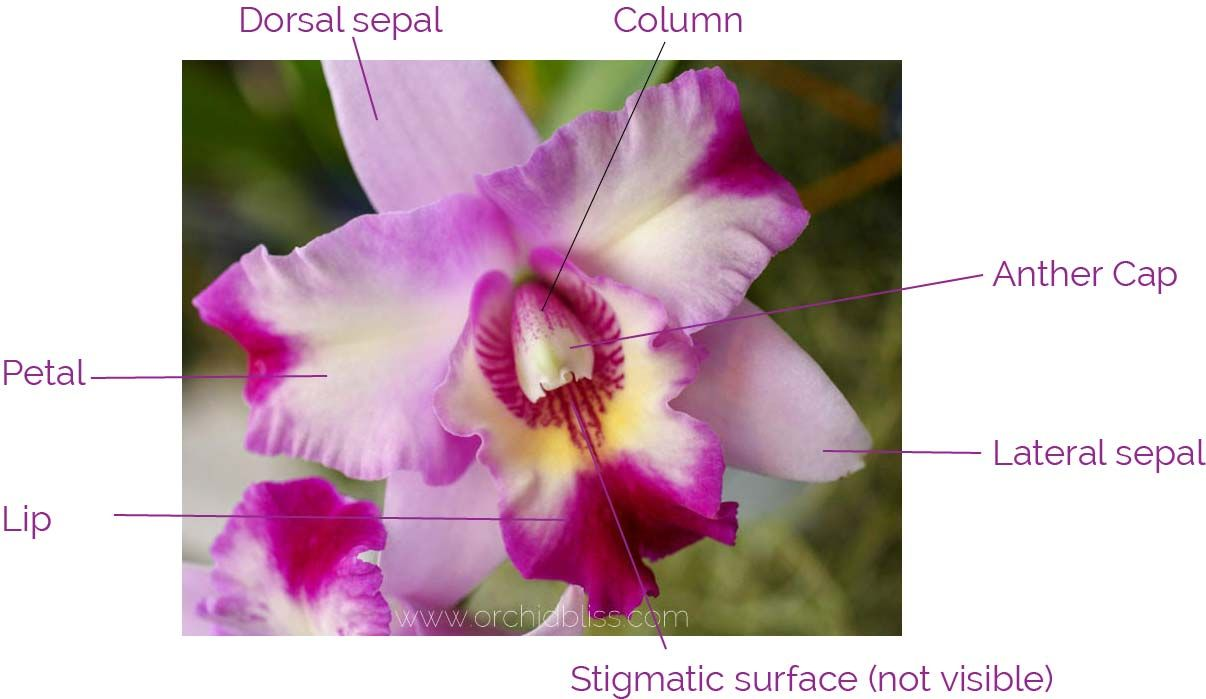 Orchid Anatomy And Terminology A Glossary Of Orchid Terms Orchid Flower Orchid Plant Care Orchids