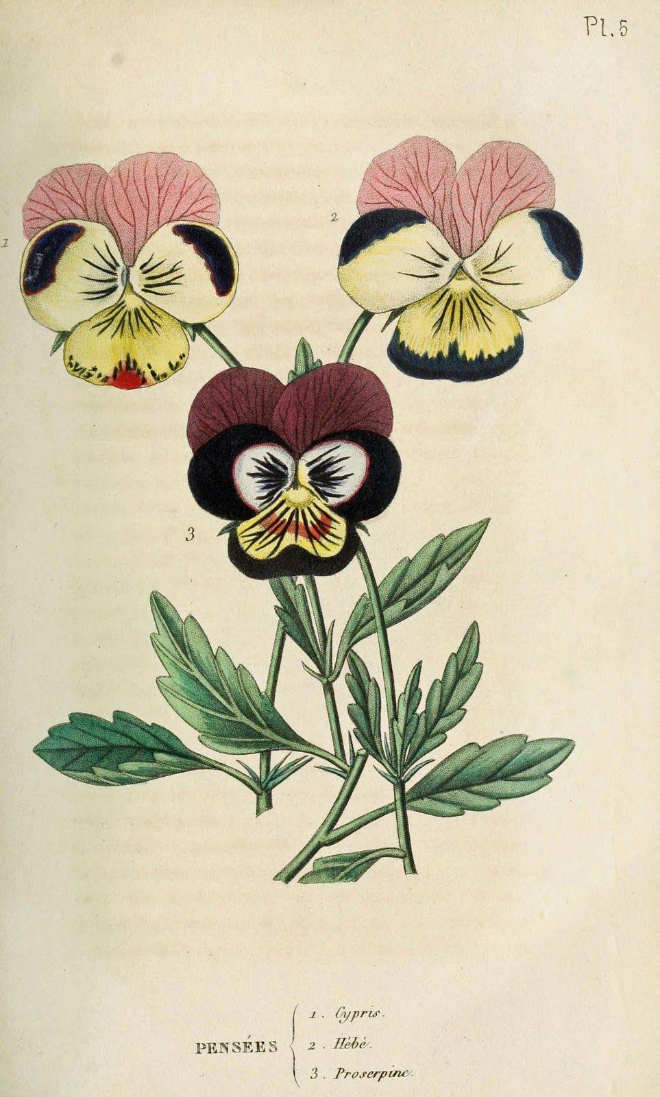 Vintage Print Botanical Illustration