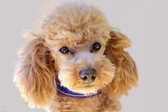 Poodle Training Toy Poodle Training And Standard House Training