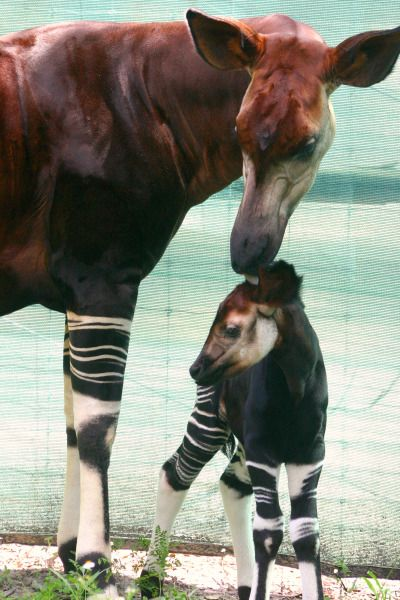 Mamma okapi and her baby