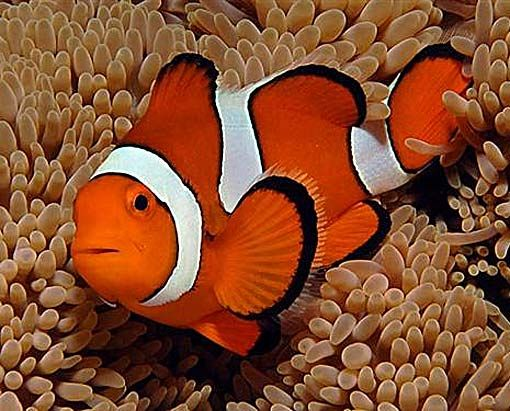 Clownfish Amazing Symbiotic Partner Saltwater Aquarium Fish Clown Fish Saltwater Aquarium