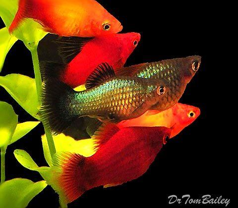 Platy Fish For Sale Online Freshwater Aquariums Pinterest