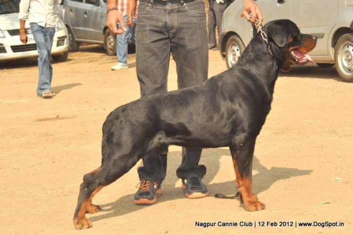 Http Www Dogspot In Photos Nagpur Dog Show 232 Dog Show Rottweiler Puppies Dogs