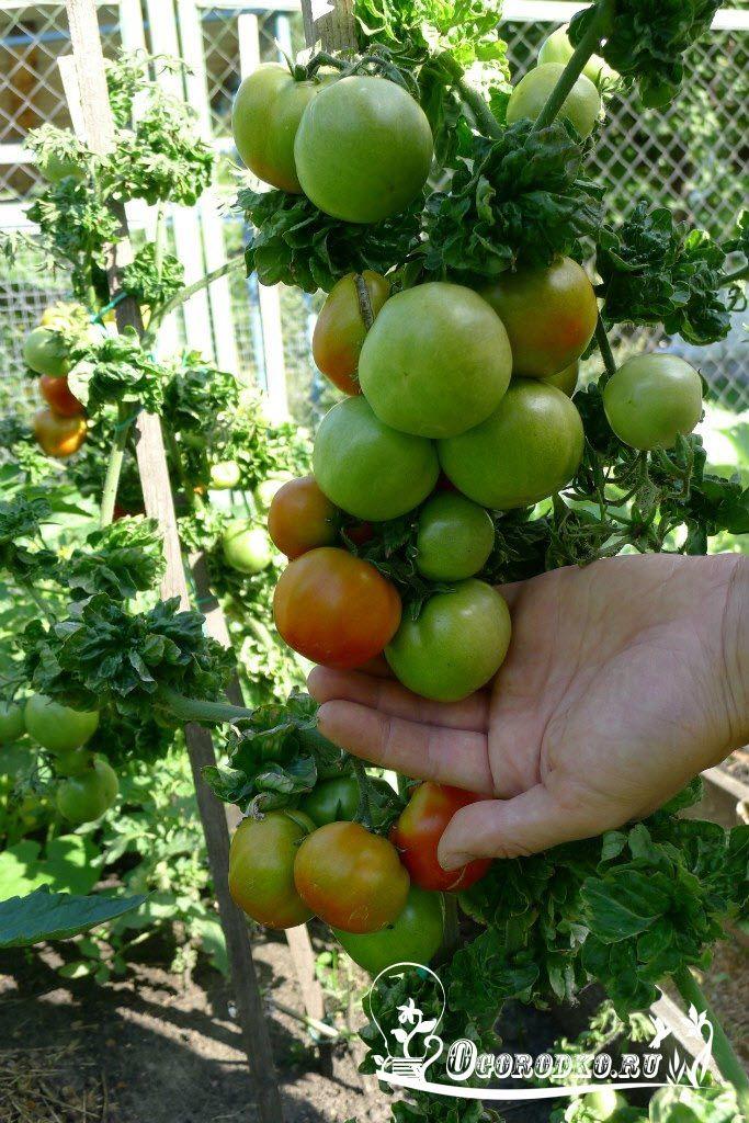 Советы кизимы по выращиванию томатов 237