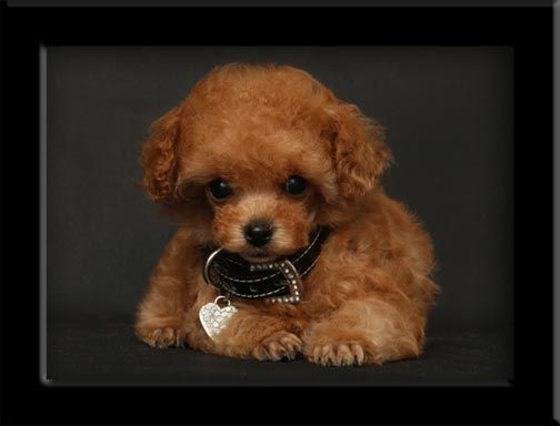 Tiny Apricot Poodle Teacup Puppies Puppies Cute Dogs