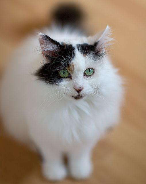 Nimbus the Turkish Van Cat by Mark Heath Photography, via Flickr