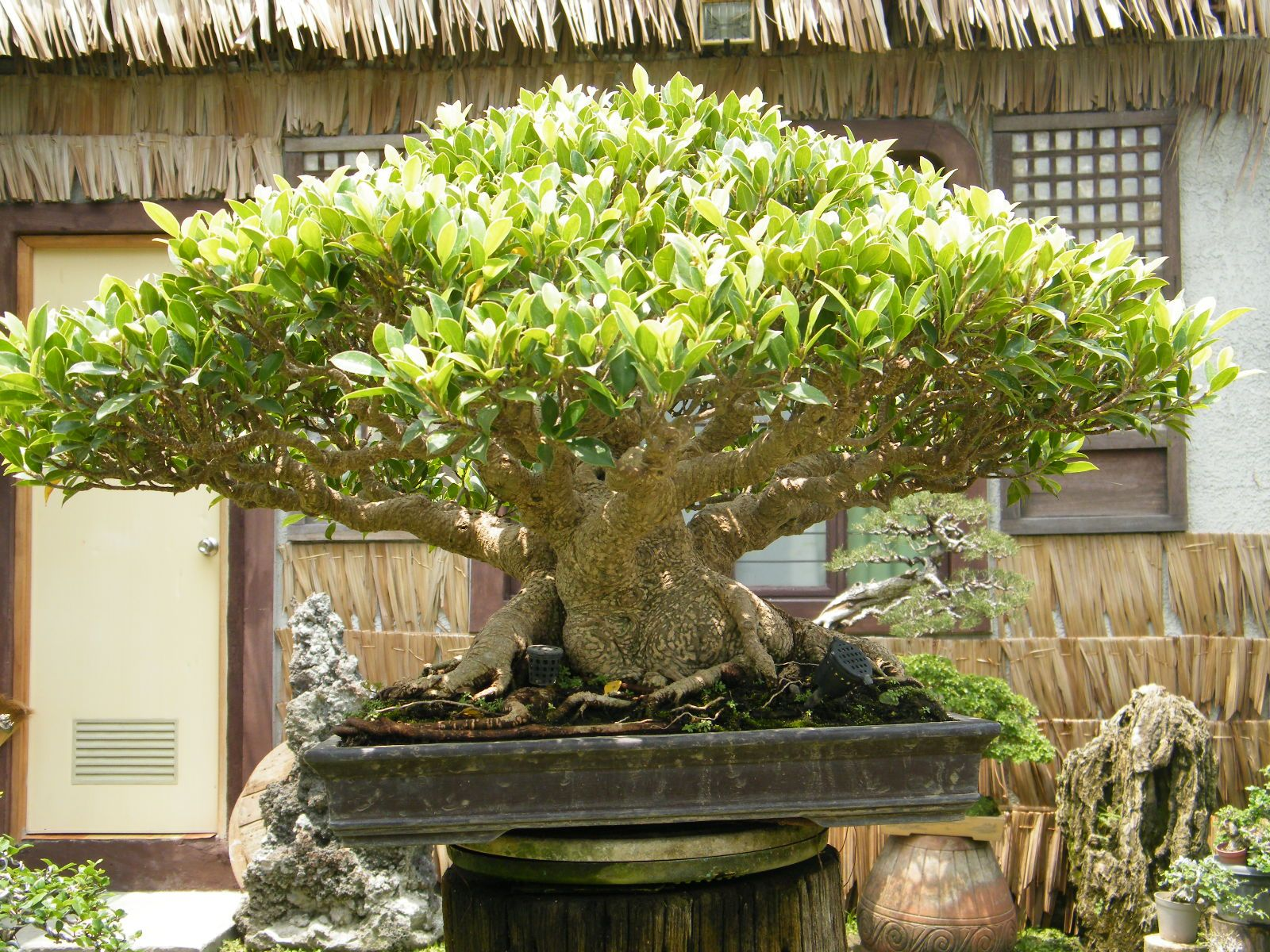 Crib for sale in pampanga - Rogie S Bonsai Garden San Fernando Pampanga Philippines