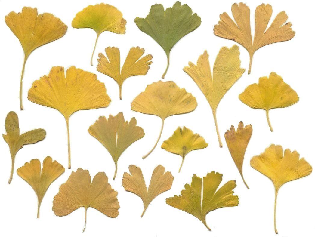 黄金の化石 ・ 銀杏   Leaves, Illustrations and Prints