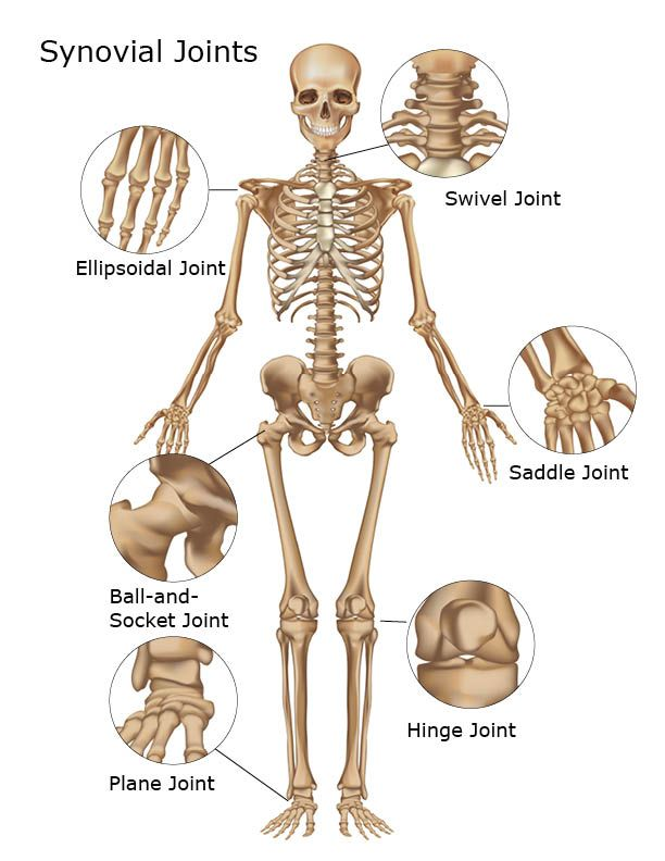 Where are synovial joints found synovial joints of the skeletal body movements joints bones and skeleton ccuart Images