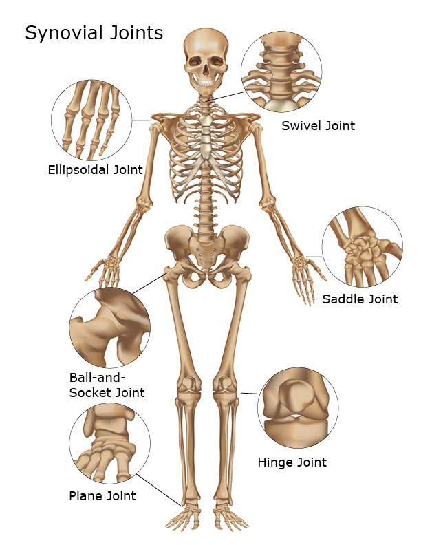 synovial joints. | Anatomía y fisiología | Pinterest | Anatomía ...