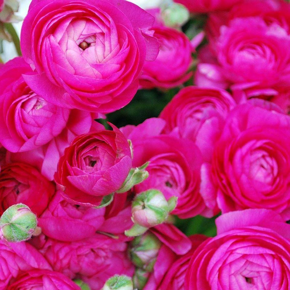(118) Ranunculus - Persian Buttercup's Photos - Ranunculus - Persian Buttercup