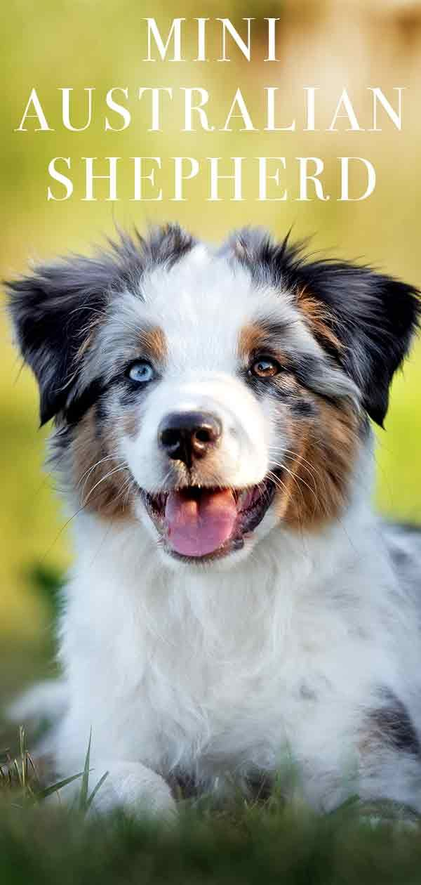 Mini Australian Shepherd – Is This The Perfect Little Farm Dog and Pet?
