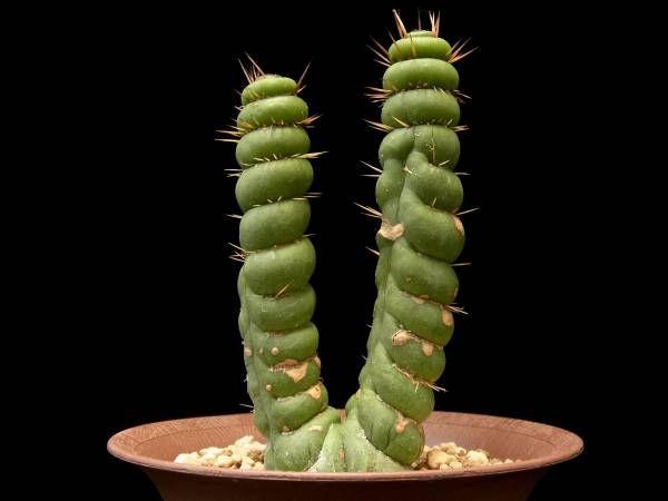 ユーリキニア カスタネア スピラリスEulychnia castanea