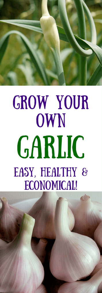 How to Grow Garlic - HealthyGreenSavvy