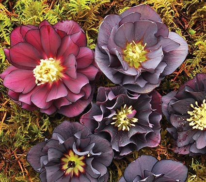Helleborus Winter Jewels Onyx Odyssey From Terra Nova Nurseries They Have The Most Amazing Color Palette