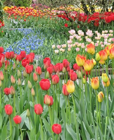 Flower beds at Roozengaarde Gardens at the Skagit Tulip Festival in ...