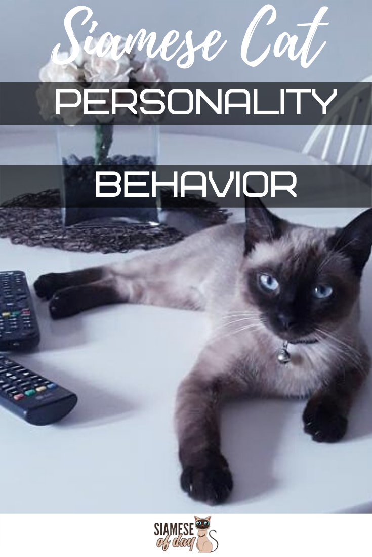 Siamese Cat Personality and Behavior Cat personalities