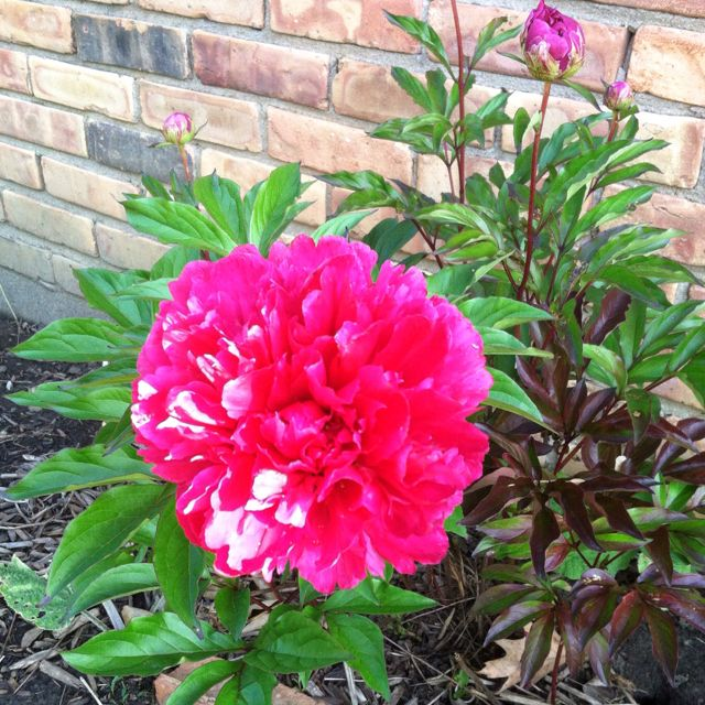 Was this peony worth the 16 year wait?
