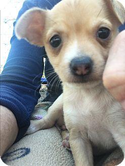 Gilbert Az Chihuahua Corgi Mix Meet Tori A Puppy For Adoption Http Www Adoptapet Com Pet 17571231 Gilbert Arizona C Kitten Adoption Pets Puppy Adoption
