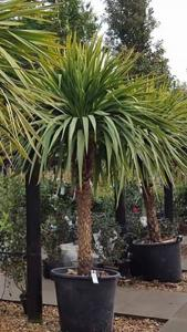 Pin By Polly Bryson On Plants Trees In 2020 Palm Trees Garden Small Front Gardens Plants