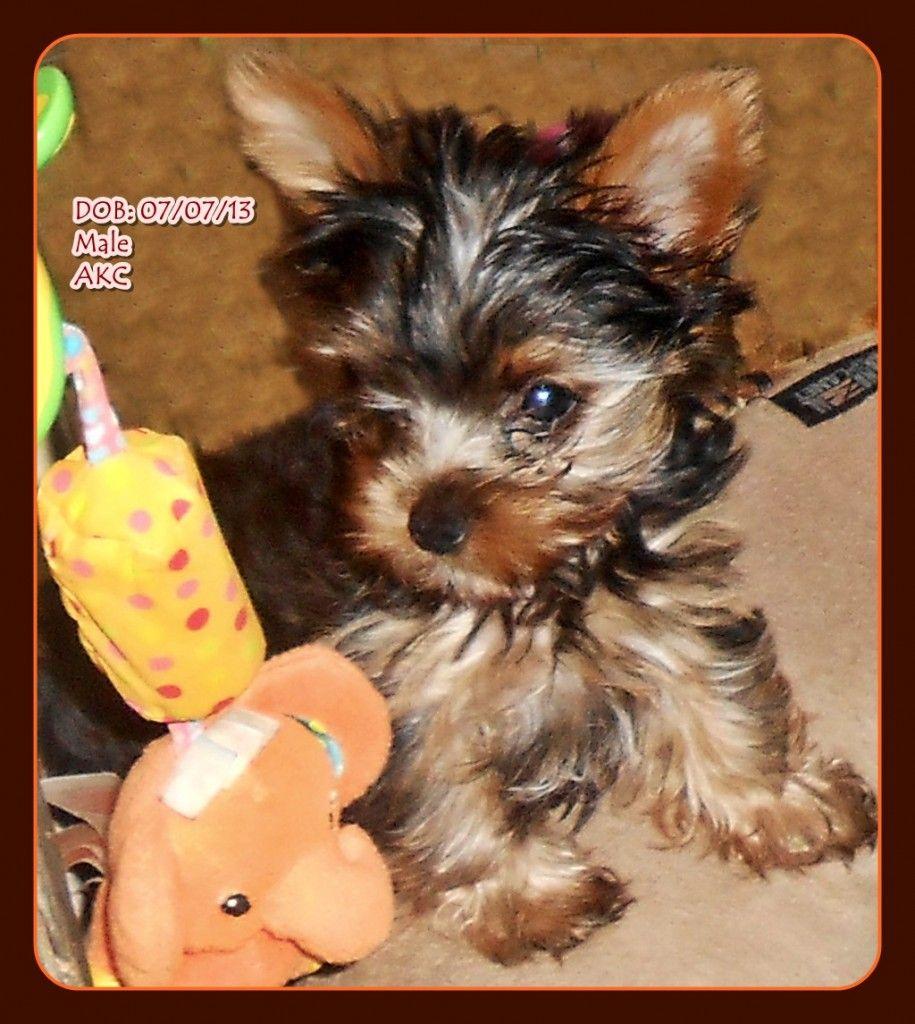 Yorkies By Cheri Dog Breeder Yorkie Puppy Yorkie