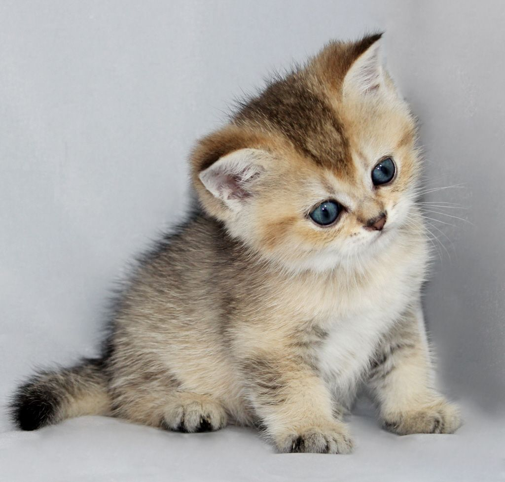 Scottish Folds and British Shorthair Kittens for Sale