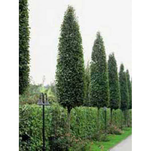 carpinus betulus 'frans fontaine' / säulen-hainbuche 'frans, Gartenarbeit ideen