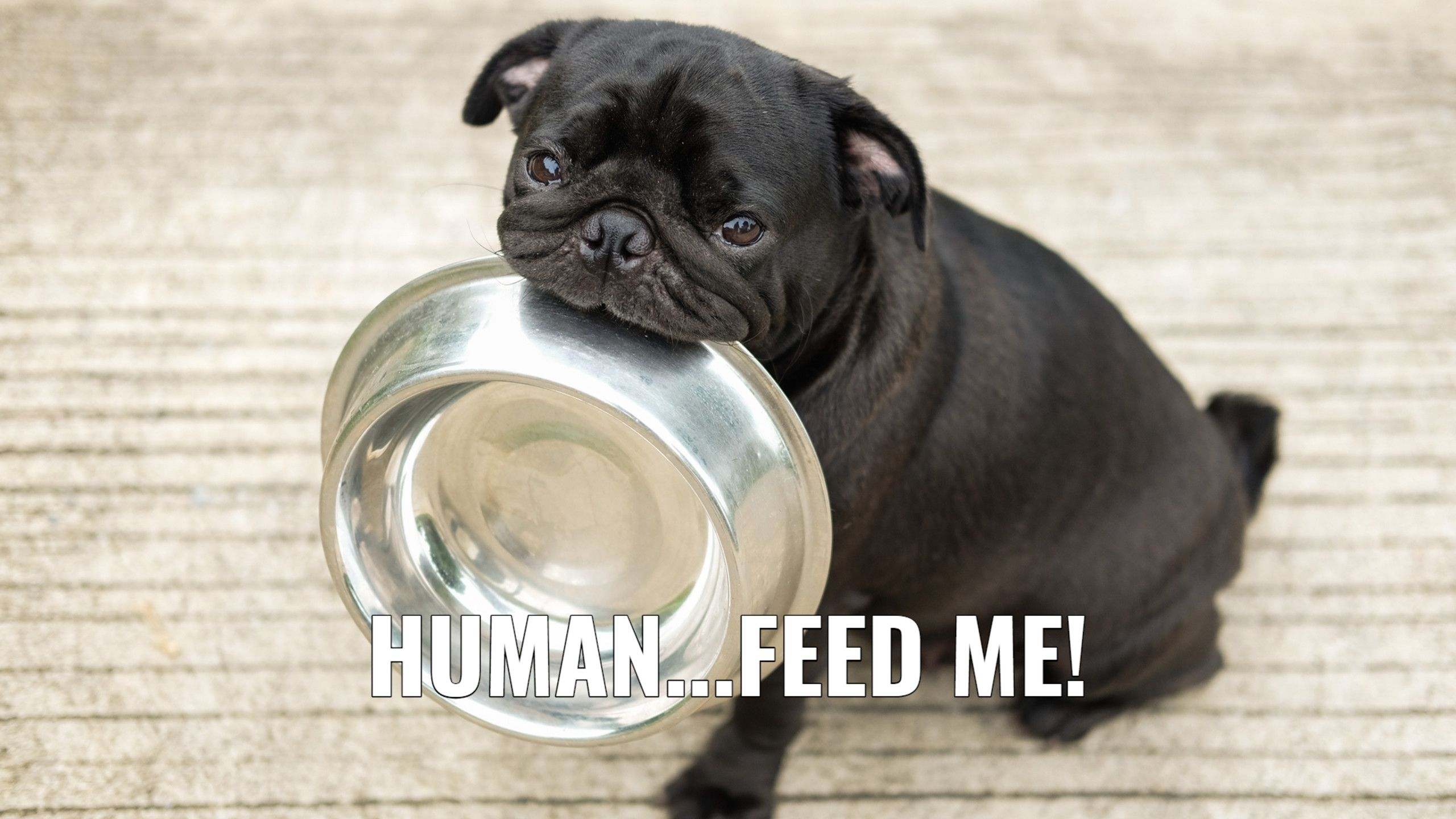 Funny Animal Memes Hd Wallpapers New Tab Funny Animal Memes Will Lighten Up Your Day Enjoy A Wallpaper Image Of Dog Food Recipes Small Dog Breeds Dog Biting