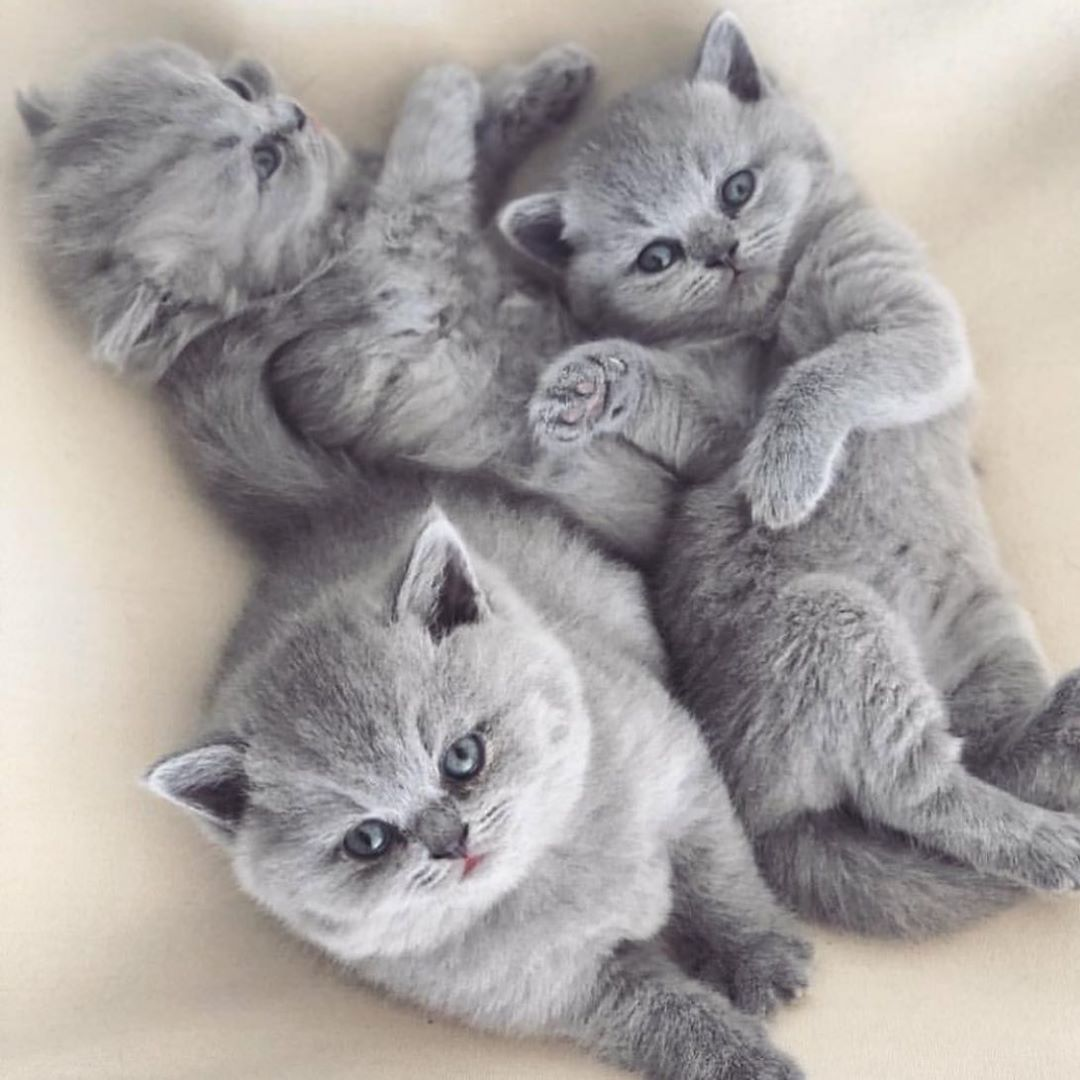 So Much Fluffiness Via Fashiongoalsz By Britishsoul Britishshorthair Britishshorthair Cat Kitten Cute Pet Cute Cats And Kittens