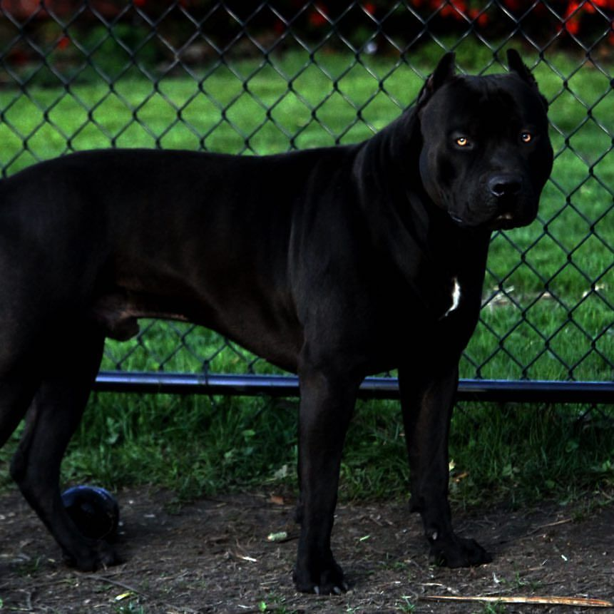 1 5 Year Old Prague Beauty Beast Pitbull Pitbulls Black