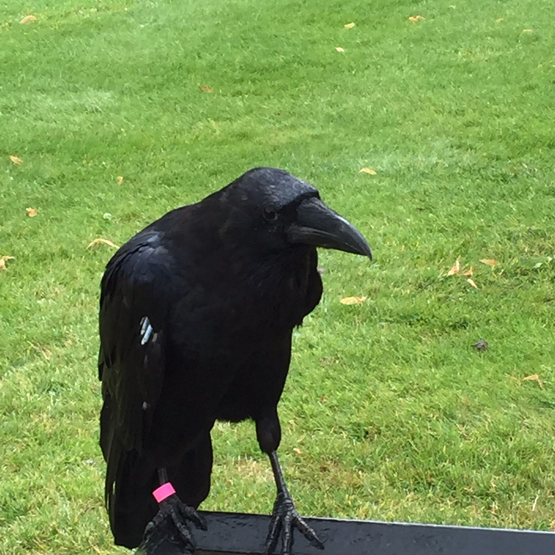 Tower of London raven.