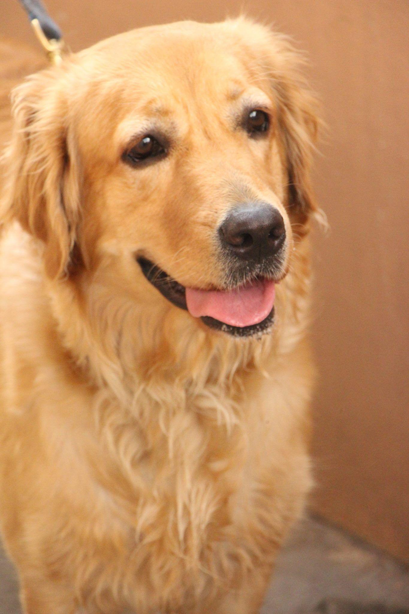 Tweety Golden Retriever Pawshake Laverton Cute Animals Dog