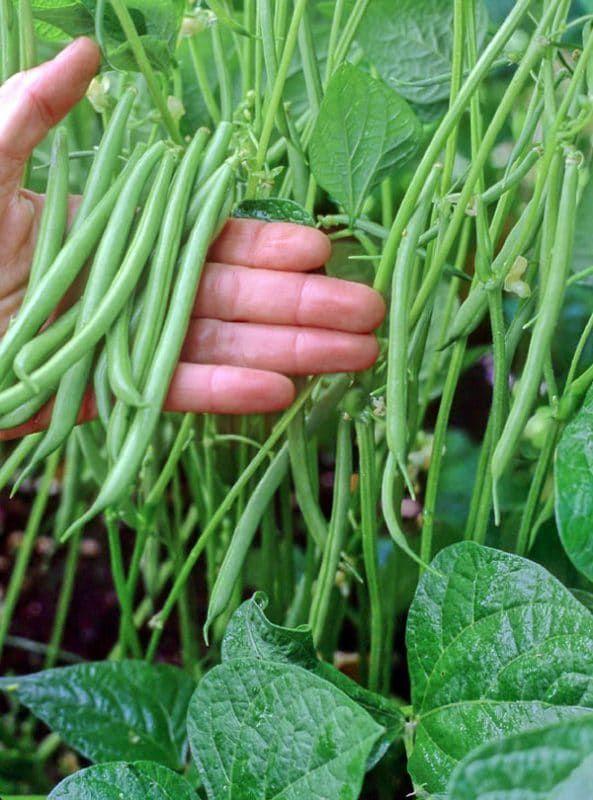 5 Best Container Vegetables For Beginning Gardeners Growing Green Beans Container Vegetables Growing Vegetables