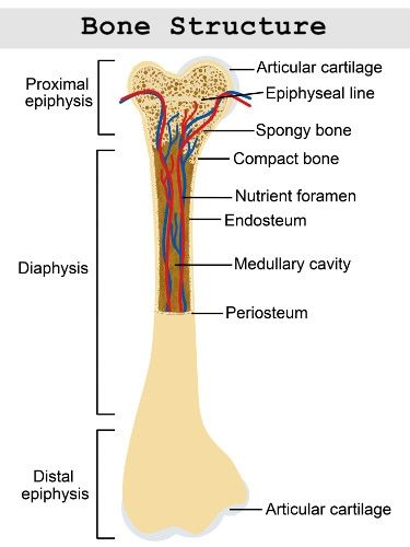 osteocytes in compact bone | anatomy & physiology | pinterest, Cephalic Vein
