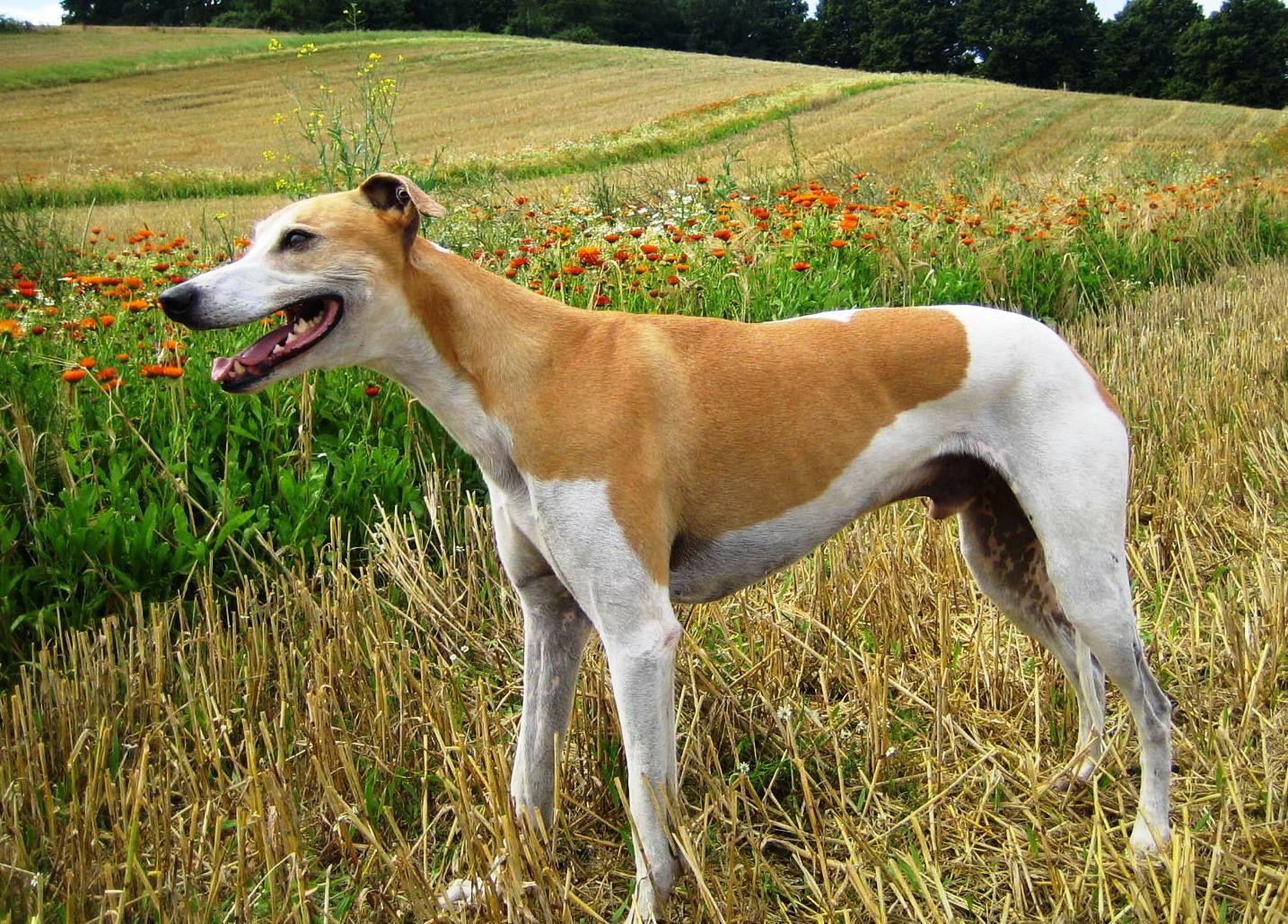 Magyar Agar Hungarian Greyhound Sighthounds Dogs Puppy Hunderassen Windhunde