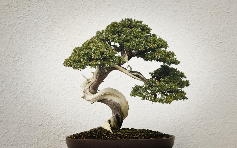 Unthinkable House Plant Tree. Bonsai Tree Wallpapers  4K HD Desktop Backgrounds Phone Images
