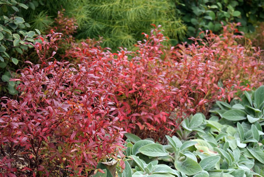 Lowbush Blueberry Bushes Turn Red In The Fall And Really Stand