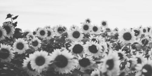Black White Sunflowers White Sunflowers Facebook Background Black And White Aesthetic