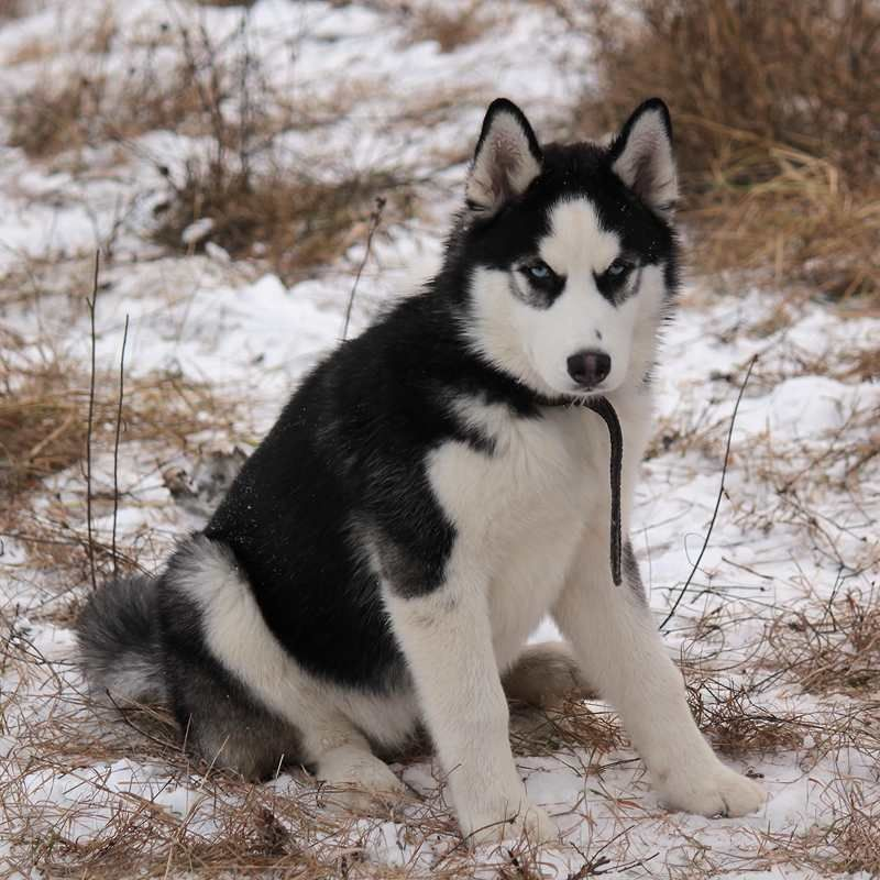 Siberian Husky Pup Snow Dogs Dogs Famous Dogs