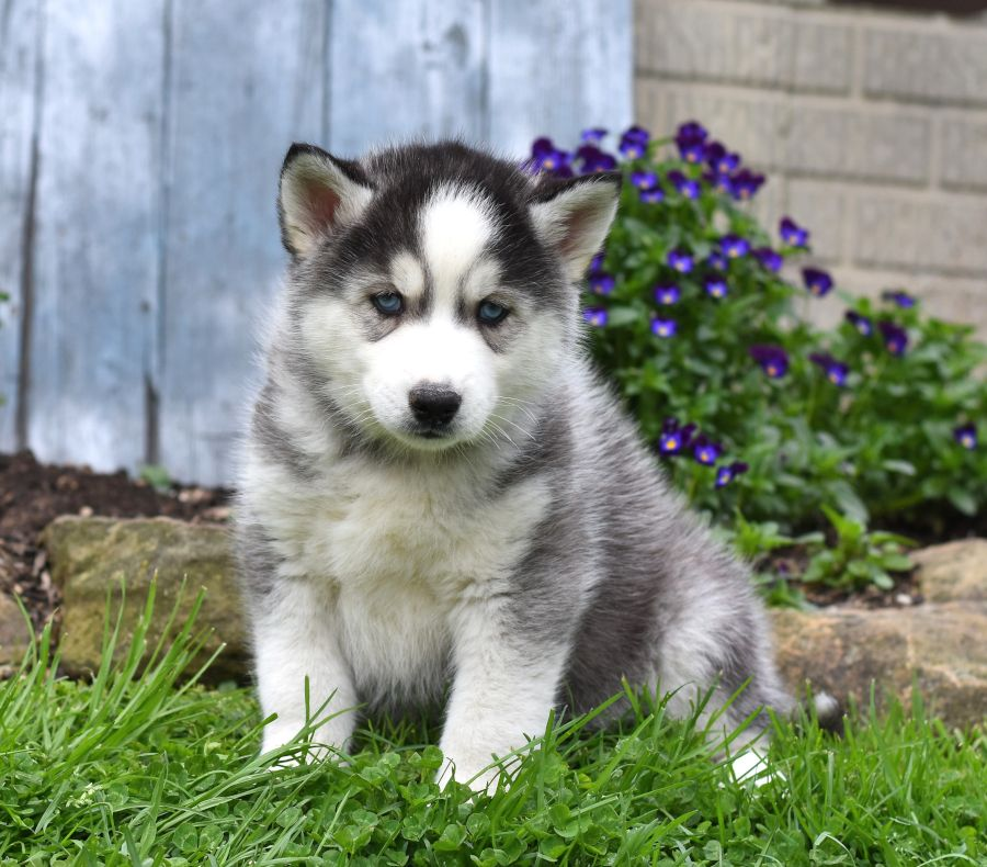 Husky Puppies For Sale In Ohio Under $500 References